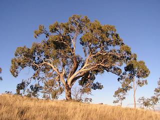 Faune et flore australienne: arbre en Australie