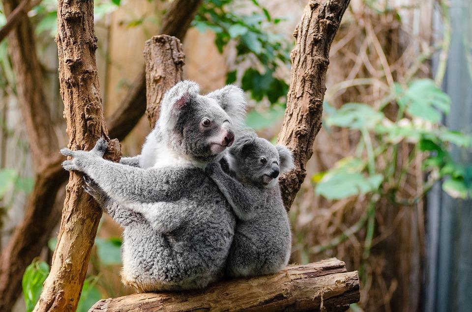 Faune et flore australienne: Koala - Australie