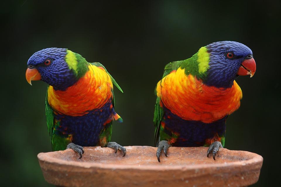 Faune et flore australienne: rainbow-lorikeet